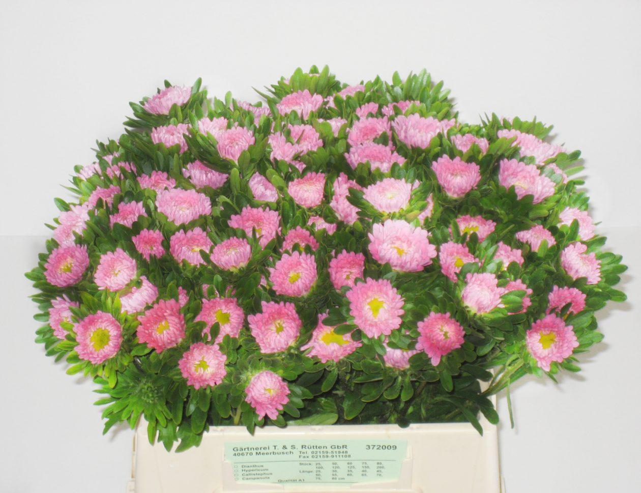 Matsumoto rosa